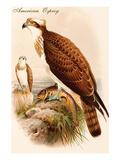 American Osprey Prints by John Gould