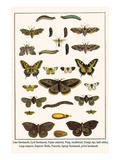 Lime Hawkmoth, Eyed Hawkmoth, Poplar Admirals, Wasp, Swallowtail, Orange Tips, Bath Whites, etc. Prints by Albertus Seba