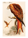 Kite or Glead Affiches par John Gould