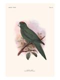 Conurus Labati Prints by Lionel Walter Rothschild