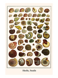 Shells, Snails Prints by Albertus Seba