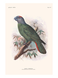 Amazona Marticana Prints by Lionel Walter Rothschild