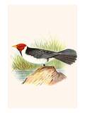 Yellow Billed Cardinal, Brown Throated or Lesser Cardinal Prints by F.w. Frohawk