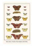 Bath Whites, Cloudless Giant Sulphers, Butterflies, Posters by Albertus Seba
