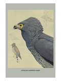 African Harrier Hawk Posters by Louis Agassiz Fuertes