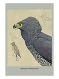 African Harrier Hawk Premium Giclee Print by Louis Agassiz Fuertes