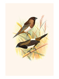 Striated Finch and Sharp Tailed Finch Print by F.w. Frohawk