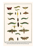 Moths, Coccoon, Lime Hawkmoth, Elephant Hawkmoth, Spurge Hawkmoth, Privet Hawkmoth, etc. Poster by Albertus Seba