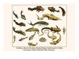 Catfishes, Barred Sorubim, Banded Banjo, Suckermouth Catfish, Cascarudo, Gobies, etc. Posters by Albertus Seba