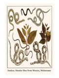 Snakes, Slender Boa from Mexico, Melastoma Posters by Albertus Seba