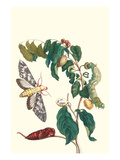 Hawkmoth on a Sugar Apple Poster by Maria Sibylla Merian