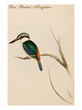 Red Backed Kingfisher Prints by John Gould