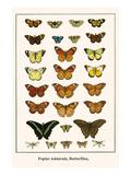 Poplar Admirals, Butterflies, Plakater af Albertus Seba