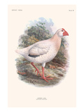 Notornis Alba Prints by Lionel Walter Rothschild