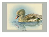 Cape Teal Poster by Louis Agassiz Fuertes