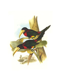Yellow Billed Aracari Print by John Gould