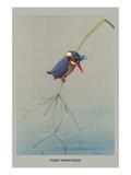 Pigmy Kingfisher Plakater af Louis Agassiz Fuertes