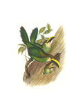 Emerald Toucanet Prints by John Gould