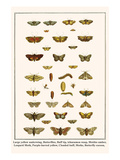 Large Yellow Underwing, Butterflies, Buff Tip, Ichneumon Wasp, Mottles Umber, Leopard Moth, etc. Prints by Albertus Seba