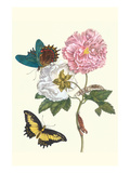 Cotton Rose Mallow with a Queen Swallowtail Premium Giclee Print by Maria Sibylla Merian