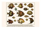 Lined Surgeon Fish, Whitecheek Surgeonfish, Brown Surgeonfish, Convict Surgeonfish, etc. Posters by Albertus Seba