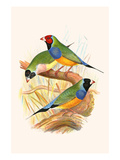 Gouldian Finch, Black Headed and Red Headed Prints by F.w. Frohawk