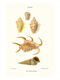 Claw Shells Prints by John Mawe