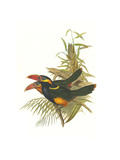 Tawny Tufted Toucanet Posters by John Gould