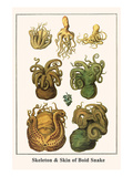 Octopuses Prints by Albertus Seba