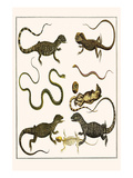 Monitors from Indonesia, Agama from Sri Lanka, Lizards, Anoles and Snakes Prints by Albertus Seba