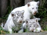 APTOPIX Argentina White Tigers Photographic Print by Eduardo Di Baia
