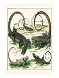 Squamata, Iguana, Prints by Albertus Seba