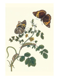 Coffee with Split-Banded Owlet Butterfly Premium Giclee Print by Maria Sibylla Merian