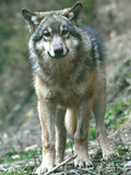 France Wolf Photographic Print by Lionel Cironneau