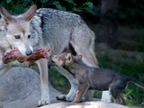 Wolf Pup Photographic Print by Tom Uhlman
