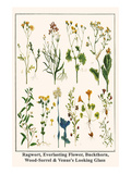 Ragwort, Everlasting Flower, Buckthorn, Wood-Sorrel and Venus's Looking Glass Premium Giclee Print by Albertus Seba