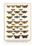 Fox Moth, Clouded Buff, Oak Eggar, Oak Hawkmoth, Four-Spotted Footman, Goat Moth, etc. Posters by Albertus Seba