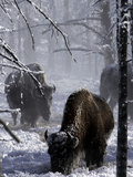 Norton Yellowstone Fotografisk tryk af Laura Rauch
