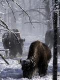 Norton Yellowstone Fotografie-Druck von Laura Rauch