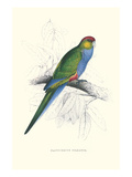 Red Capped Parakeet Female - Purpureicephalus Spurius Posters by Edward Lear