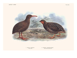 Cabalus Modestus, Coturnix Novaezealandae Posters by Lionel Walter Rothschild