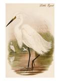 Little Egret Prints by John Gould