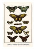 Cape York Aeroplanes, Butterflies, Black Magics Prints by Albertus Seba