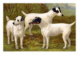 Fox Terriers Prints by Vero Shaw