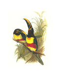 Chestnut Eared Aracari Prints by John Gould