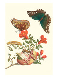 Pomegranate and Butterflies Posters af Maria Sibylla Merian