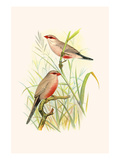 Common African Waxbill and St. Helena Waxbill Posters by F.w. Frohawk