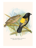 Yellow Shouldered Weaver Posters by F.w. Frohawk