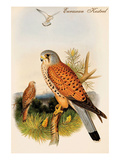 Eurasian Kestrel Prints by John Gould