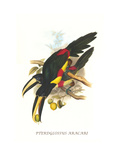 Black-Necked Aracari Prints by John Gould